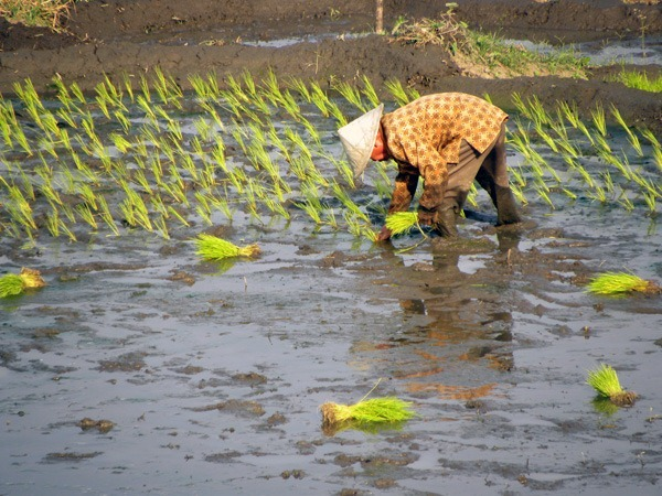 Reis-pflanzen